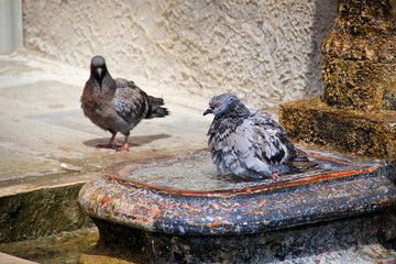 Pigeons bathing in water