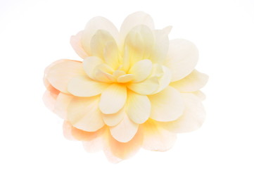 Yellow begonia flower head isolated on white background
