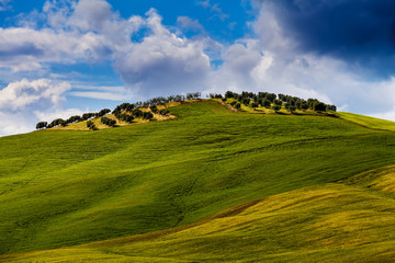 Wall Mural - Olive trees on the hill. Tuscany, Italy