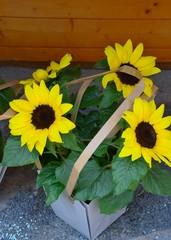 Junge Sonnenblumen in Geschenkpackung