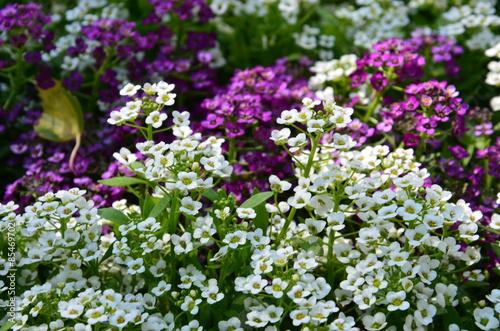 friedhof duftsteinrich steinkraut bodendeckerpflanzen grabbepflanzung lila wei. Black Bedroom Furniture Sets. Home Design Ideas