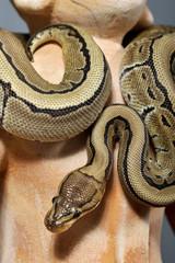 python regius pinstripe