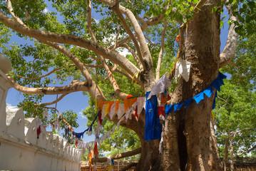 Sacred Bo Tree at Anuradhapura, Sri Lanka