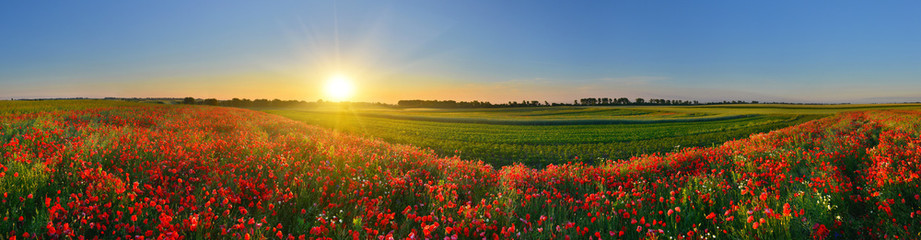 Panorama of poppy field in sunrise countryside