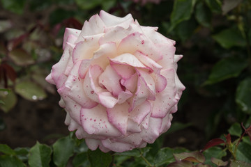 Violet Weisse Rose