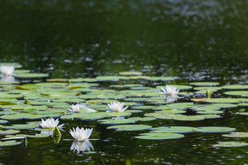 Wall Murals Water lilies white lilies on a summer river