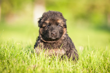 German shepherd puppy sitting in the grass