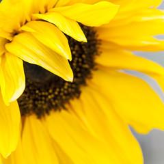 Yellow sunflower close up image