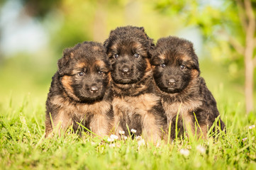 Group of three little german shepherd puppies