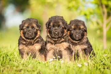 Three little german shepherd puppies sitting on the lawn