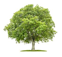 Alter Walnussbaum