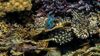 Giant Clam in the Coral Reef