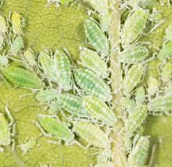 aphids on a green leaf. close