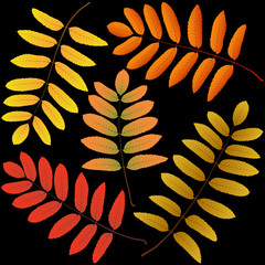 Wall Mural - autumn leaves rowan black background