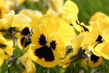 Fiołek ogrodowy, bratek ogrodowy, bratek (Viola ×wittrockiana Gams)