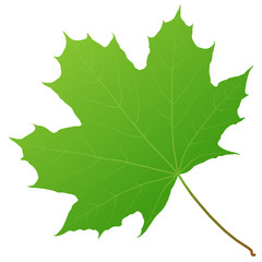 Wall Mural - green maple leaf