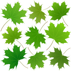 Wall Mural - green maple leaves