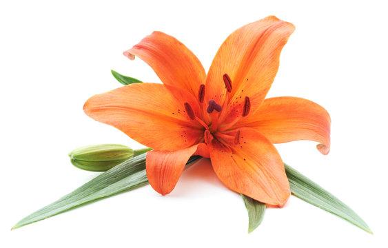 Orange lily.