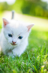 white kitten walking on the grass