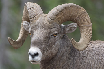 Close-up of a Big Horn Sheep
