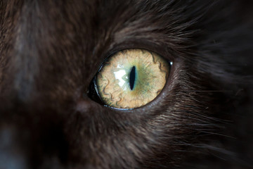 Eye of black cat. Macro