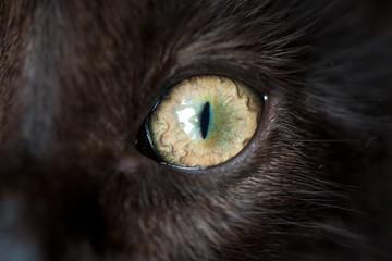 Eye of black cat. Macro