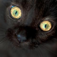 Eyes of black cat closeup.