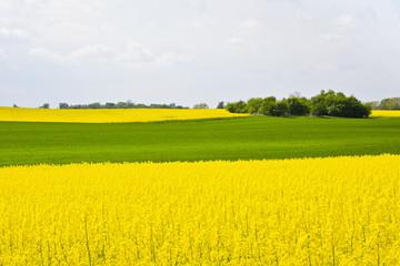 Krajobraz z chmurami, drzewami, polem zboża  i polem rzepaku podczas kwitnienia