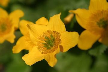 Knieć błotna, kaczeniec, kaczyniec, kaczyniec błotny (Caltha palustris L.)