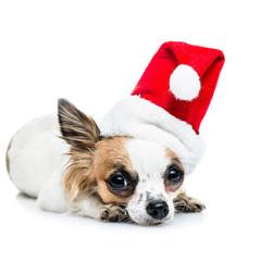 Cute Chihuahuas ready for Christmas.