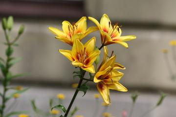 Lilia, Lilie, Lilium, Lilia ogrodowa, Ivory Pixie, Lilium hybridum, Lilia tygrysia, lilia azjatycka