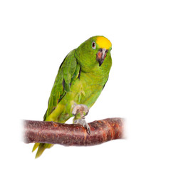 Fototapete - Yellow-crowned amazon isolated on white