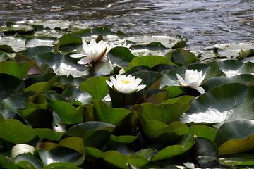 Lilie wodne (Nymphaea) - Oczko wodne