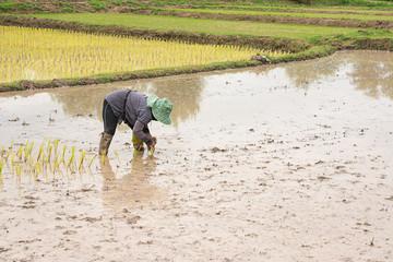 Thai farmer is doing rice farming.