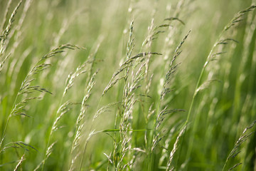 Spikes of green grass on a summer meadow closeup