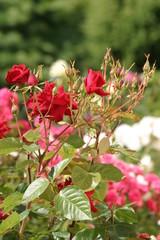 Róża (Rosa - Rosaceae)