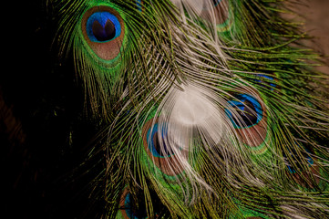 Colorful peacock tail feathers background