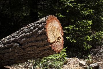 Tronco de pino cortado con savia