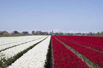 A sunny day with a white and red tulips field together