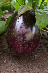 Big purple eggplants growing