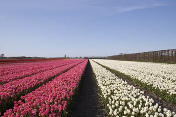 Pink and white tulips in a row. Tourists find the Dutch tulips in the spring beautiful