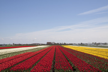 This is a typical dutch landscape in spring with fields of tulips in a row.