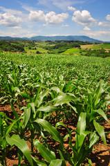 Field of green corn plants on a farm, countryside landscape