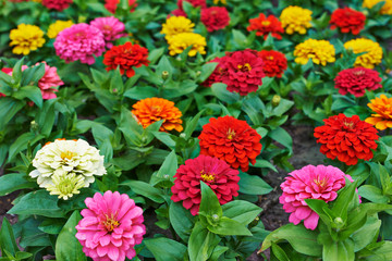 Beautiful bright flowers tsiniya