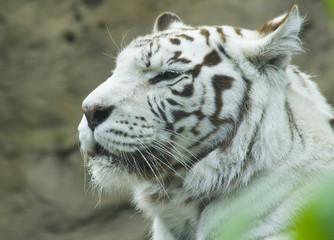 Белый тигр, Московский зоопарк