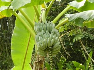 La Banane  durant sa croissance