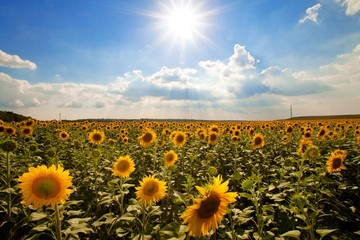 Sunflower, Field, Flower.