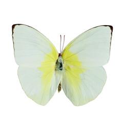 Lemon Emigrant butterfly