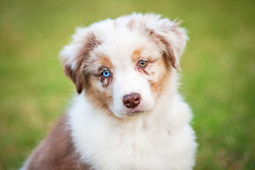 Portrait of australian shepherd puppy with different eye color