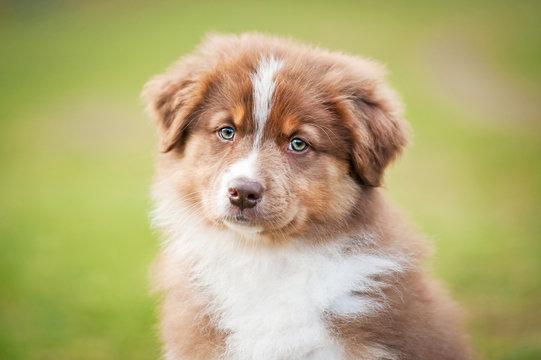 Portrait of australian shepherd puppy